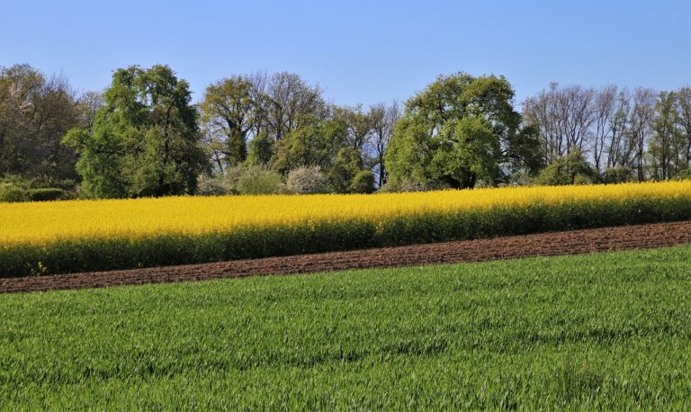 Skuteczne panaceum na żółtlicę owłosioną na Twojej uprawie
